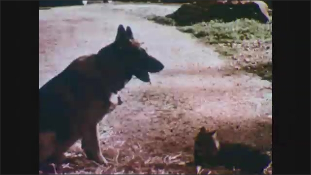 1950s: Fox suddenly scrambles away from the skunk. The German shepherd and Mother cat wait in the road. The hawk flies overhead.