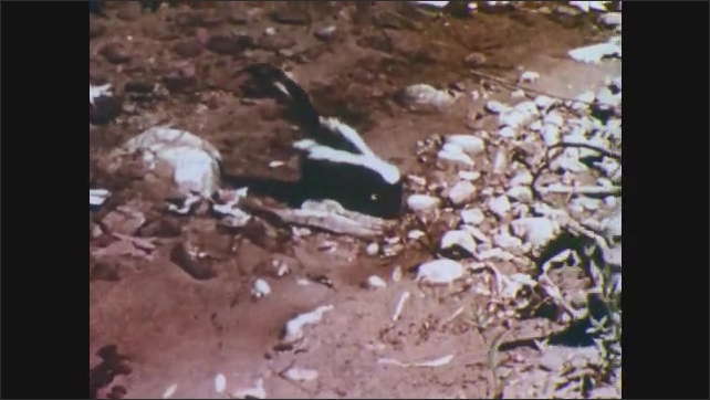 1950s: Hawk watches the creek. Two skunks cross the river. Hawk and owl watch the skunks.