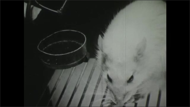 1940s: Rat ????ery Hungry????presses bar, takes food from small dish, rat eats, rat goes back to the bar and sniffs it.
