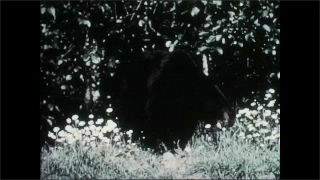 """1950s: Black bear.  Illustration is labelled """"ZONE of FORESTS."""""""