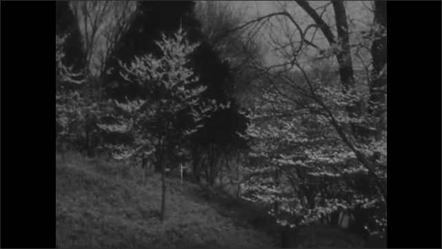 1950s: Trees and rolling hills. Trees on side of hill.