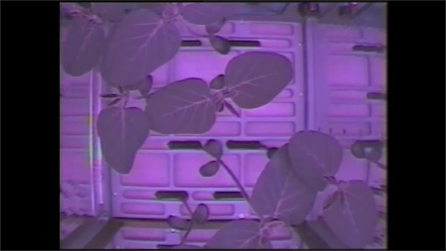 1990s: man in facemask in front of lab equipment, time-lapse of plants growing in purple light, hands move young plants in zero gravity