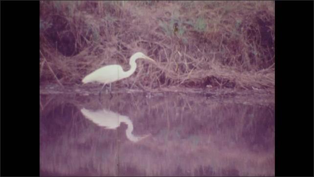 1970s: White crane stands and feeds in shallow marsh water. Tiny fish swim in marsh lake.