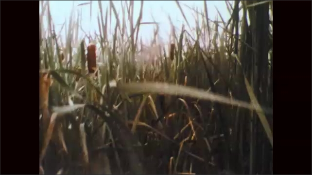 1970s: Mud and standing water on trail. Tall cat tails and wetland grasses. Man in waders walks through cat tails in marsh.