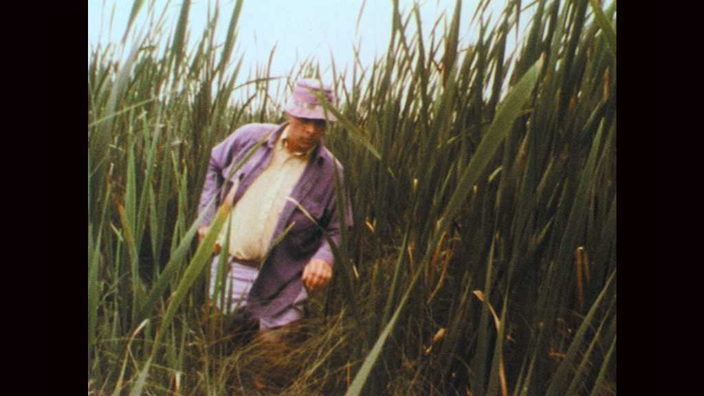 1970s: Man walks through cat tails in marsh. Man removes pocket knife from pants. Man cuts cat tail stalk free and replaces knife.