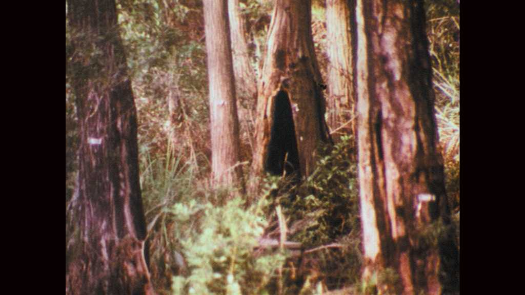 1970s: Cypress dome. View of cypress dome from a distance, among other plant life.