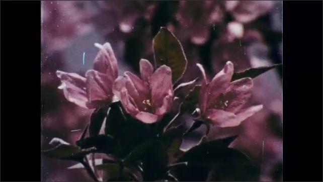 1960s: Magnolias in bloom. Crab apple tree in bloom. Pink dogwood flowers.