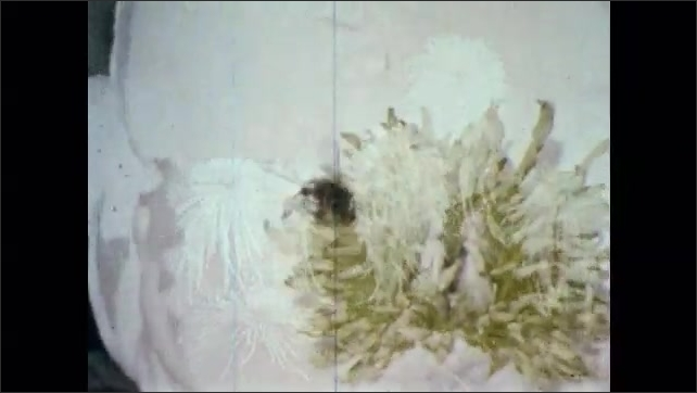 1960s: Chrysanthemums. Bee crawls on flower. Man brushes flower with tiny brush.