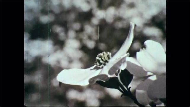 1960s: White dogwoods.