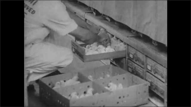 1950s: Man removes baby chicks from incubator trays and places them into shipping containers.