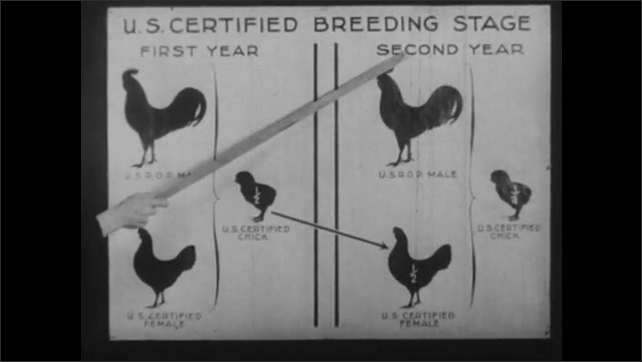 1950s: Stick points to images of chickens and chick on U.S. Certified Breeding Stage chart.