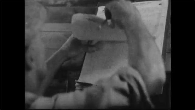 1950s: Hands hold chicken and leg band in coop. Man writes on records form on clipboard.