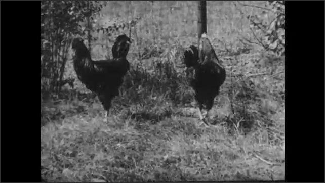 1950s: Flock of hens walk near fence in farmyard. Pair of cockerels strut in farmyard near fence.