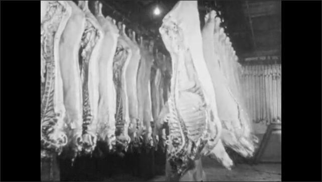 1950s: Slaughtered cows hang upside down from hooks on track, exit through double doors, men push and pull carcasses down the track, down hallway into cold room.
