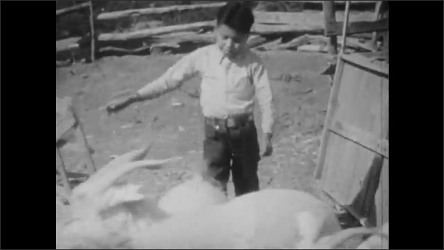 1930s: Boy herds sheep and goats out of a pen. Boy carries two puppies in his arms to the wagon.