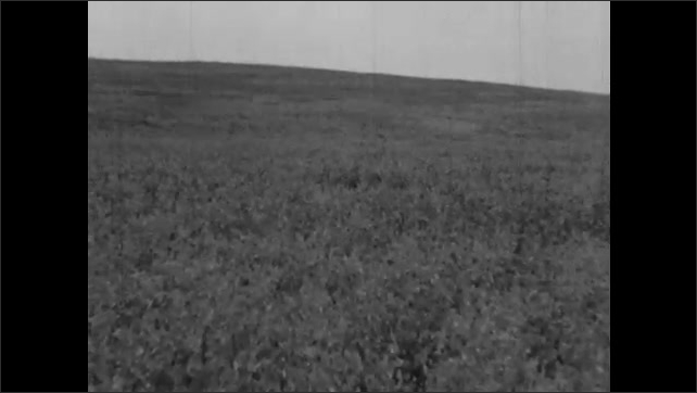 1930s: Farmer drives tractor and combine harvester over field of canary grass. Wind blows across field of legume plants.