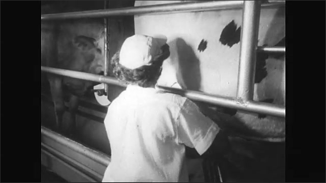 1950s: Dairy farm, milking area. Cows pass on conveyer belt, woman moves milking equipment along line, attaches tubes to cow's udders, cow eats from trough.