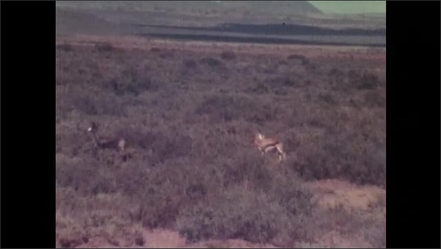 1970s: Panning shot of birds flying. Antelope standing in bushes. Man climbing into hunting tower. Men in tower.