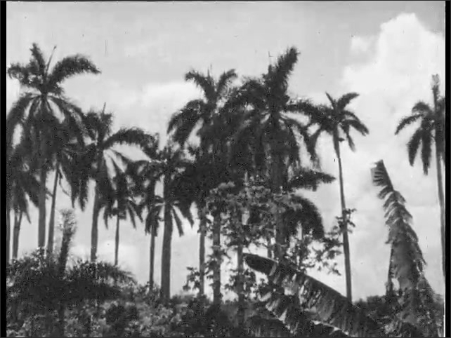 Cuba 1940s: View of statue. View of palm trees. Pan across field and trees.