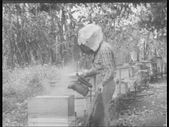 Cuba 1940s: Boy puts on bee mask. Boy harvests honey. Close up of boy.