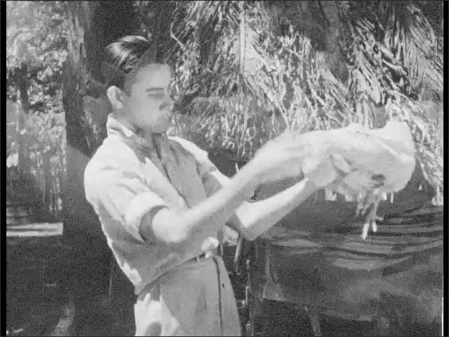 Cuba 1940s: Boy feeding chickens. Boy picks up chicken. Close up of chicken. Boy holds rooster.