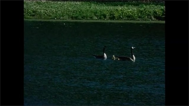 1930s: UNITED STATES: goose and gander on water with young. Goose with goslings. Egg shells in nest with geese.