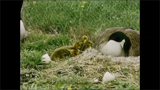1930s: UNITED STATES: baby geese flap wings. Goslings in nest. Goose sits with young on grass.