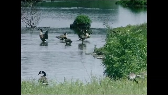 1930s: UNITED STATES: view across meadow in summer. Geese on water in summer. Geese wash in water. Geese waggle tails. Goose stretches wings