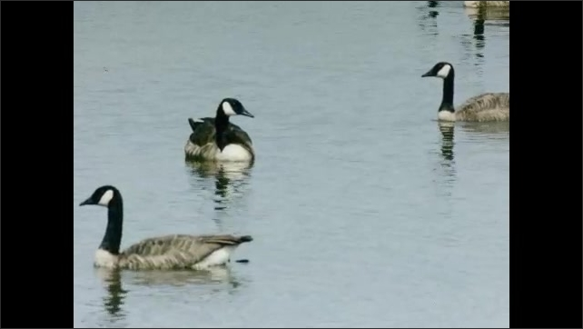 1930s: UNITED STATES: geese sit on lake water. Geese glide across water. Reflection in water