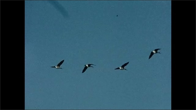 1930s: UNITED STATES: formation of geese in sky. Geese fly in sky. Geese eat grass in meadow