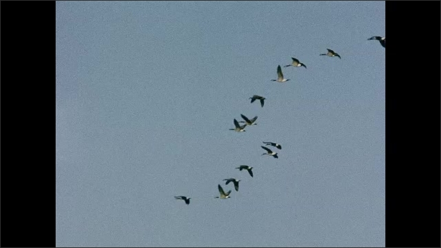 1930s: UNITED STATES: geese fly in sky. Formation flying of geese.