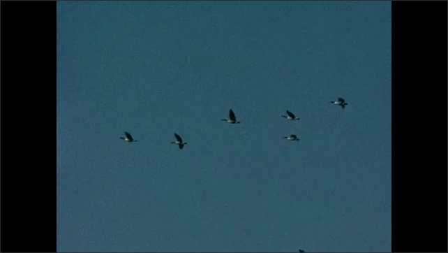 1930s: UNITED STATES: side profile of geese flying in sky.