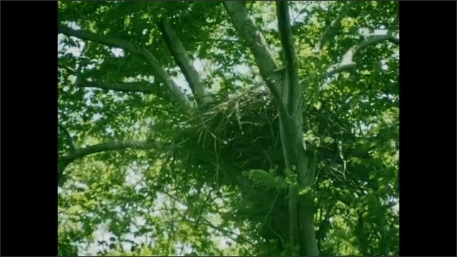 1930s: UNITED STATES: Bird glides in sky. Underside view of bird in cloudy sky. Nest in tree