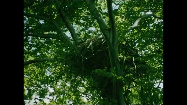 1930s: UNITED STATES: nest in branches of tree.