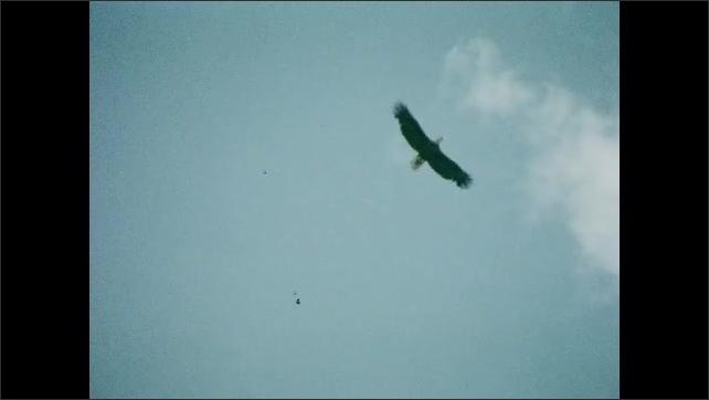 1930s: UNITED STATES: bird flies across sky. Bird stops in flight, Bird spots prey. Nest in tree.