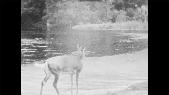 1940s: Deer stands in water.  Boy walks past and claps.