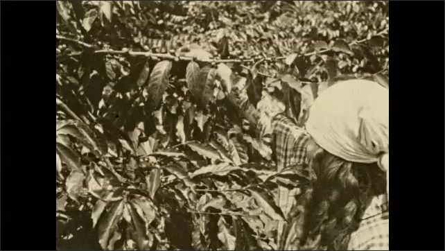 1930s: COLUMBIA: SOUTH AMERICA: lady picks coffee beans from tree.