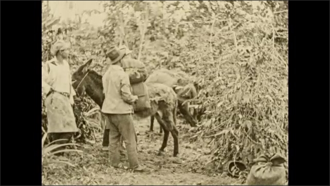 1930s: COLUMBIA: SOUTH AMERICA: workers pick coffee beans. Mule on plantation. Man ties coffee bean basket to back of mule.