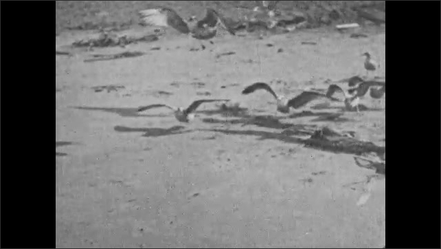 1930s: UNITED STATES: slow motion of gulls on beach. Birds fly above sand in slow motion. Wings on gulls.