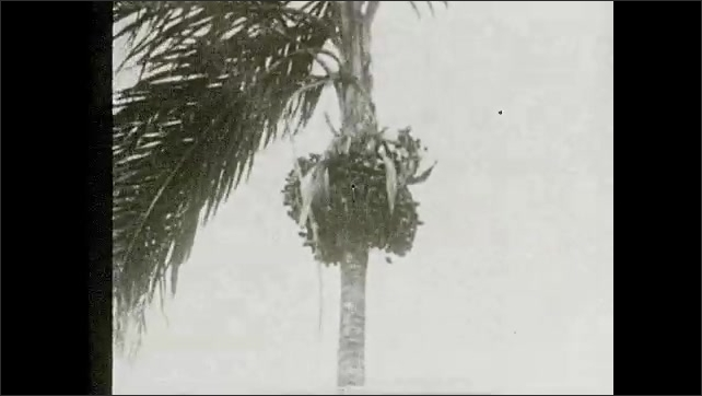 1930s: Palm tree sways in breeze.  Man shakes tree.  Men gather leaves from ground.