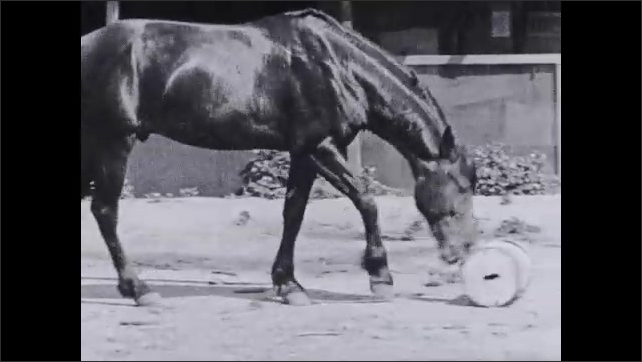 1930s: Man pats horse on the neck. Text placard. Horse pushes weighted barrel across corral.