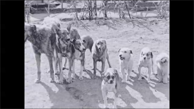 1930s: Boys point to group of dogs. Dogs lay down. Boys point and speak to dogs. Dogs sit up and beg.