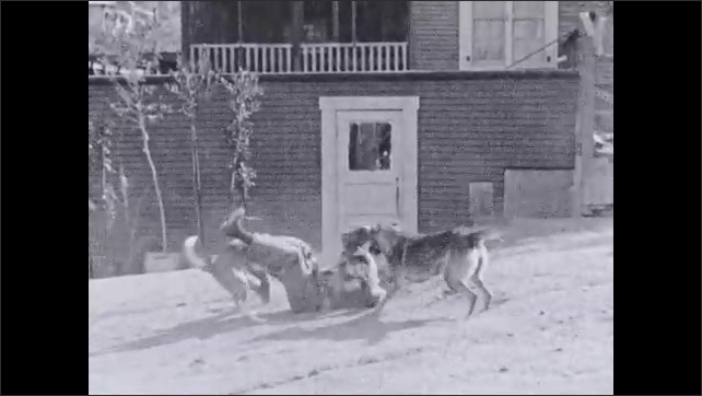 1930s: Text placard. Teen exits house. Dogs surround and attack boy on ground. Dogs drag boy in bite-proof jacket along dirt road.