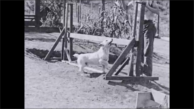 1930s: Trainer points. Dog looks across road to boy. Boy speaks. Text placard. Dog limps toward boy. Text placard. Dog runs in between man's legs as they walk. Text placard.