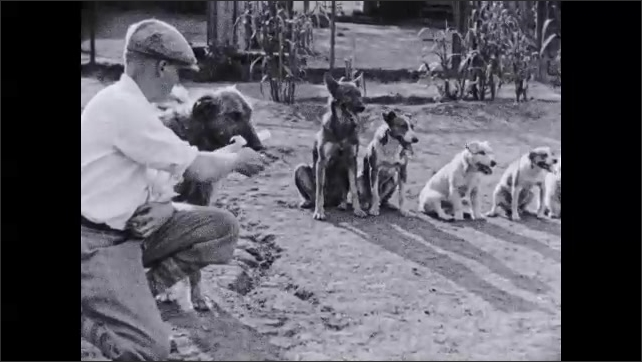 1930s: Dog carries pan across yard. Text placard. Stack of diplomas in man's arms. Man hands diplomas to pack of dogs. Dogs take diplomas and run off.
