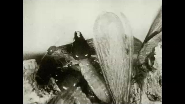 1930s: UNITED STATES: termites feed on wood. Termites with wings