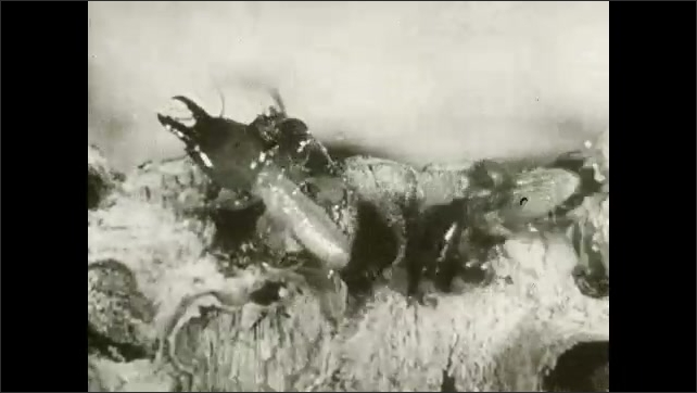 1930s: UNITED STATES: termites crush ant to death