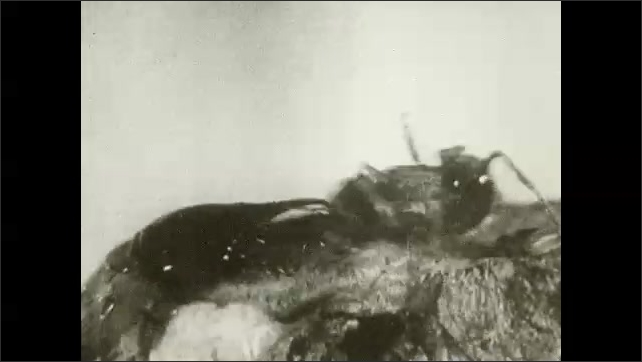 1930s: UNITED STATES: jaws on termite. Termite and ant fight