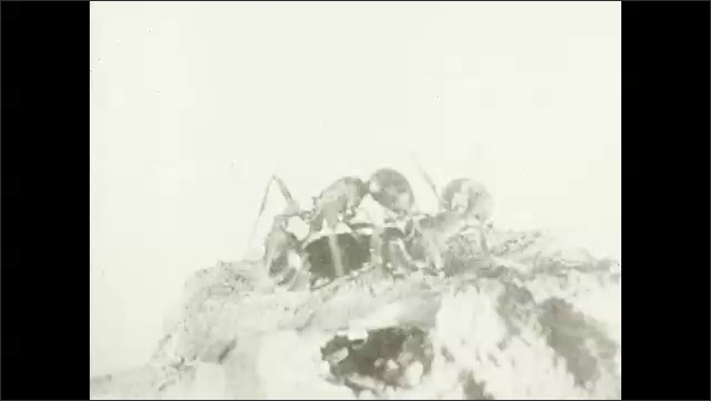 1930s: UNITED STATES: ants rescue wounded from battle. Ants carry injured member of colony