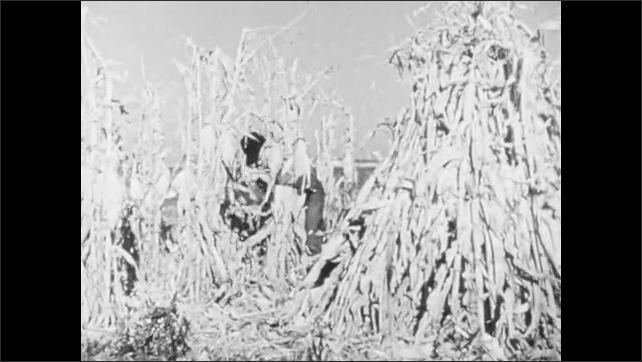 1960s: Cornfield.  Horses.  Farmer harvests corn.
